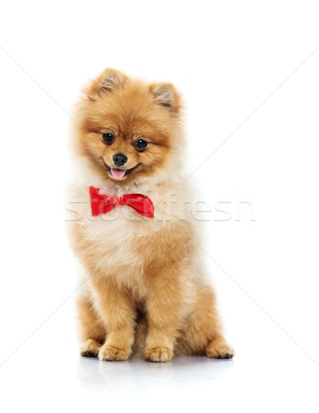 Little funny spitz with bow tie  Stock photo © Nejron