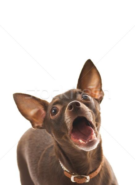 Barking toy terrier isolated on white background Stock photo © Nejron