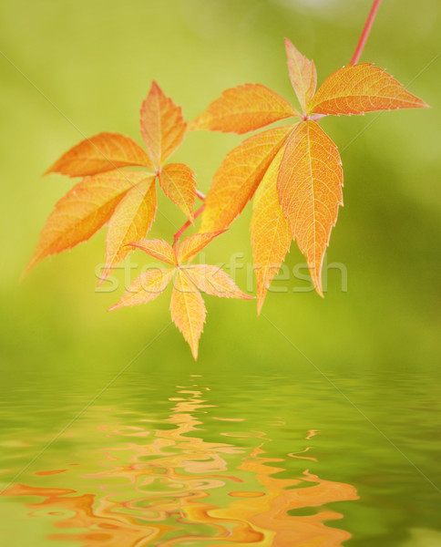 Leaves reflected in water Stock photo © Nejron
