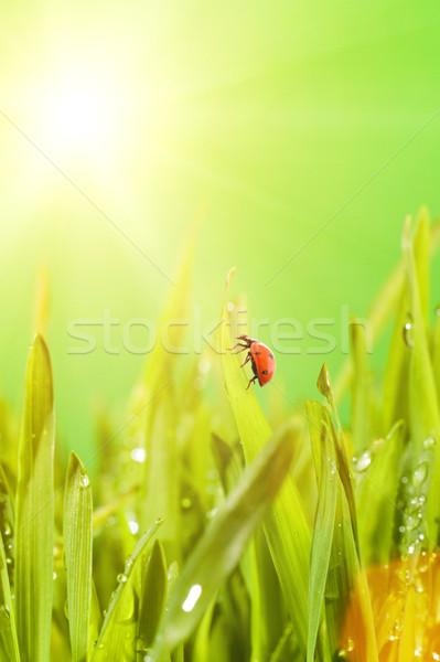 Uğur böceği oturma yeşil ot çim doğa arka plan Stok fotoğraf © Nejron