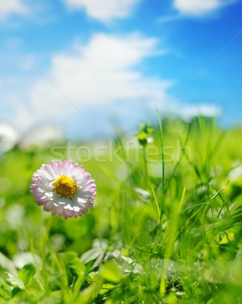 Champ de fleurs fleur printemps été vert bleu Photo stock © Nejron