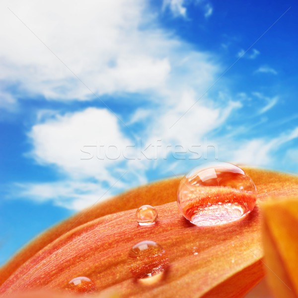 Stok fotoğraf: Turuncu · çiçek · yaprakları · su · damlası · mavi · gökyüzü · gökyüzü