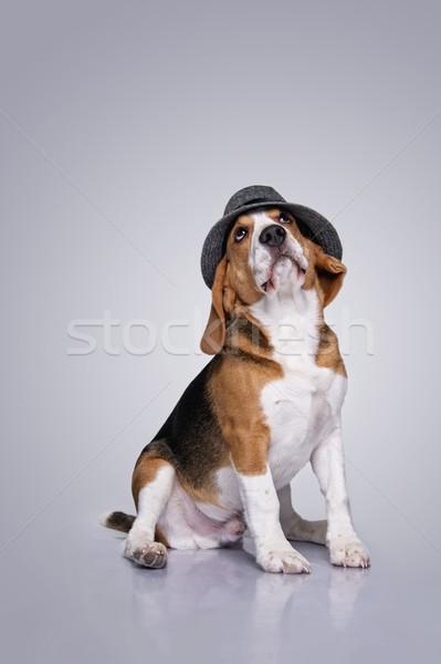 Tazı köpek şapka arka plan genç Stok fotoğraf © Nejron