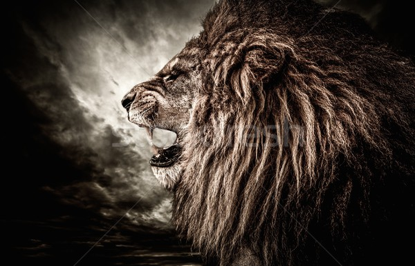 Stock photo: Roaring lion against stormy sky
