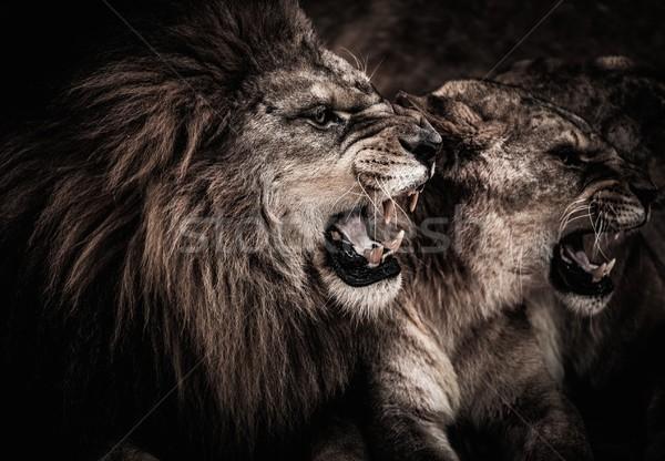 Közelkép lövés oroszlán száj Afrika fej Stock fotó © Nejron