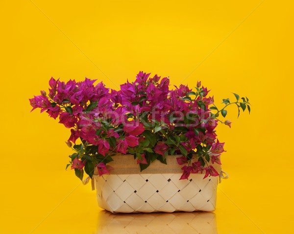 Basket with magenta flowers isolated on yellow Stock photo © Nejron