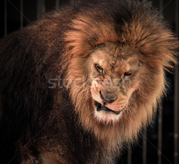 Stock photo: Close-up shot of roaring lion