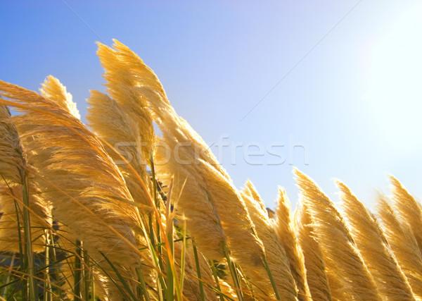 麦畑 自然 風景 葉 フィールド 緑 ストックフォト © Nejron