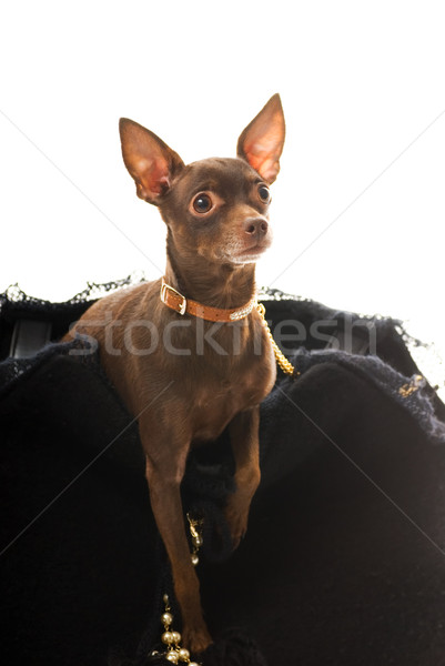 Toy terrier in a luxury bag isolated on white background Stock photo © Nejron