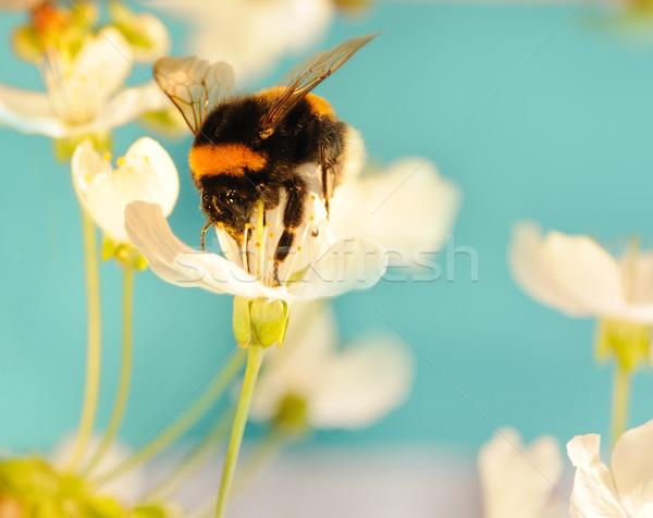 Bumble bee on a flower Stock photo © Nejron