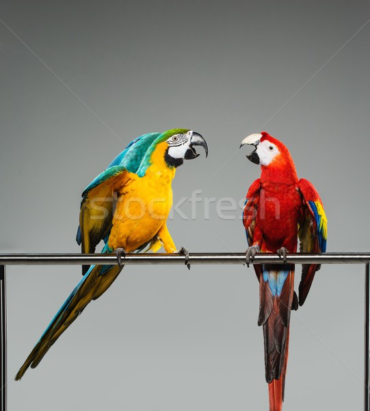 Two colourful parrots fighting  on a perch Stock photo © Nejron