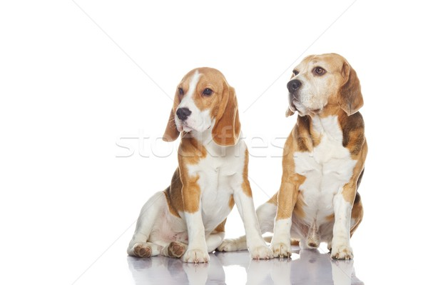2 ビーグル 犬 孤立した 白 犬 ストックフォト © Nejron