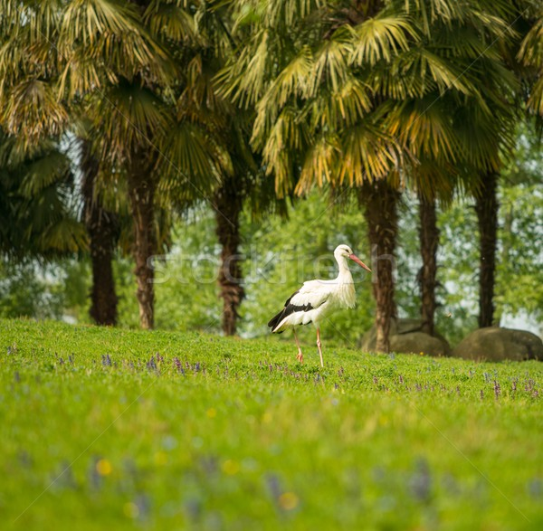 Stork on a meadow against palm trees Stock photo © Nejron