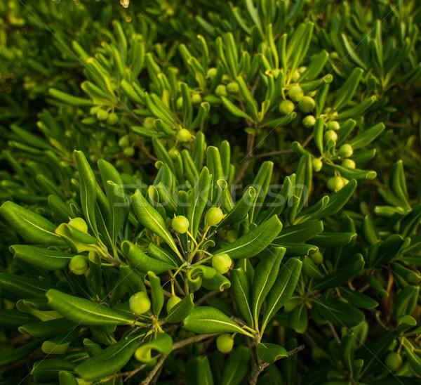 Many green olives on a tree Stock photo © Nejron