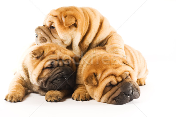 Photo stock: Groupe · trois · belle · sharpei · chiots · isolé