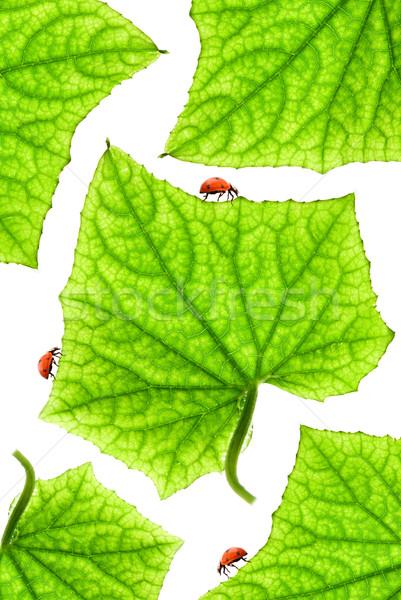 Katicabogarak levelek természet fény terv háttér Stock fotó © Nejron
