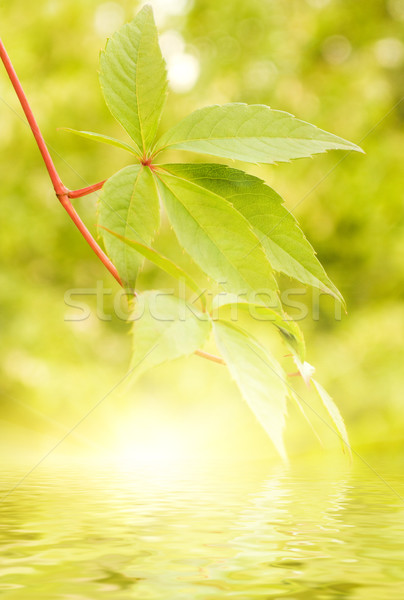 Green leaves reflected in rendered water Stock photo © Nejron