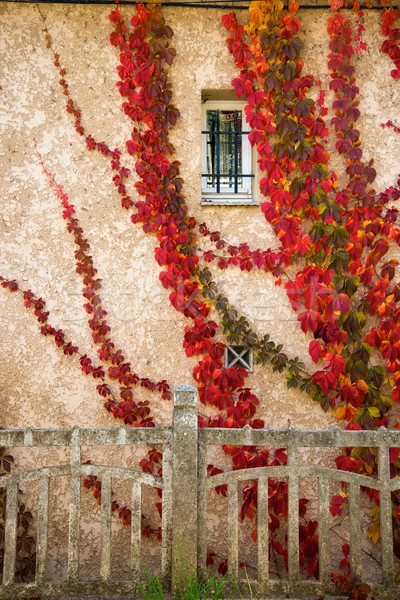 Beautiful red leaves on house wall Stock photo © Nejron