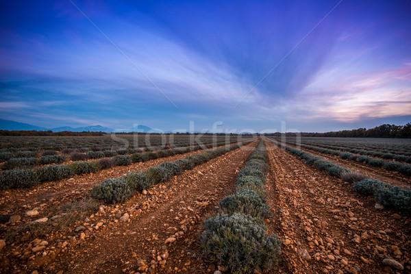 美しい 空 ラベンダー畑 自然 風景 ストックフォト © Nejron