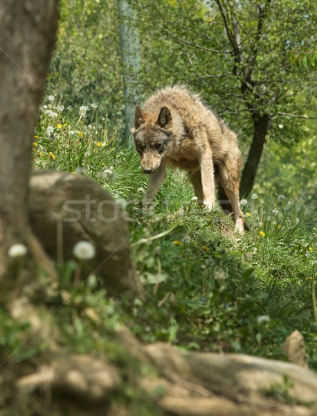 Angry wolf standing on a hill Stock photo © Nejron