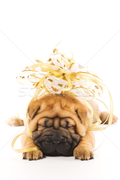 Beautiful sharpei puppie with golden bow isolated on white backg Stock photo © Nejron