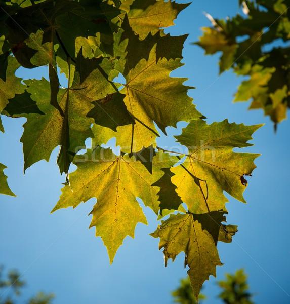 Leaves close-up against blue sky Stock photo © Nejron