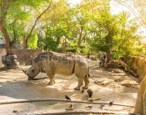 Rhino in zoo on sunny day Stock photo © Nejron