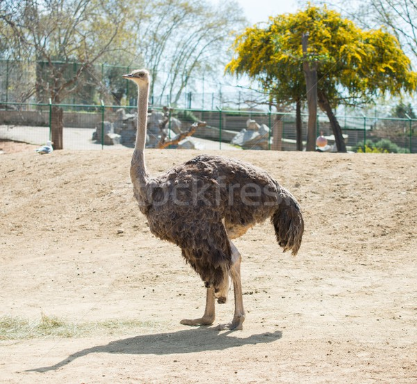 Ostrich in a zoo Stock photo © Nejron