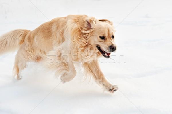 Golden retriever çalışma kar köpek arka plan kış Stok fotoğraf © Nejron