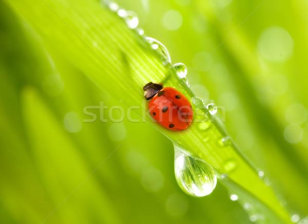Joaninha sessão grama verde água primavera grama Foto stock © Nejron