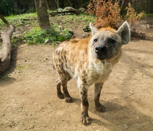 Erschossen Hyäne Augen Sand Afrika Stock foto © Nejron