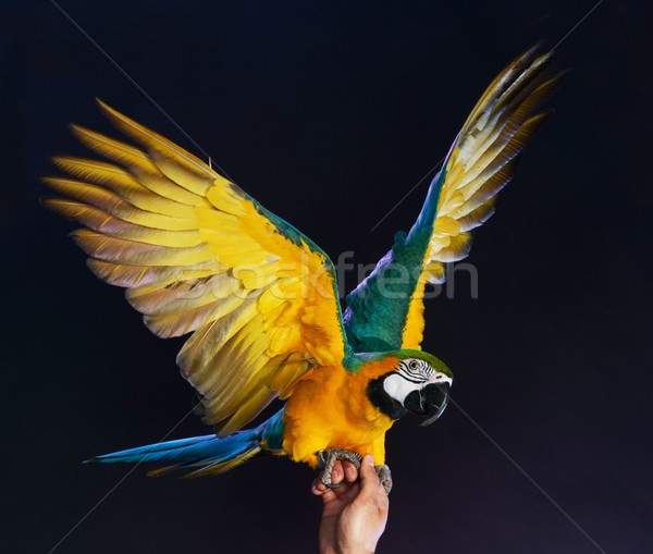 Trained colourful parrot sitting on a human hand Stock photo © Nejron