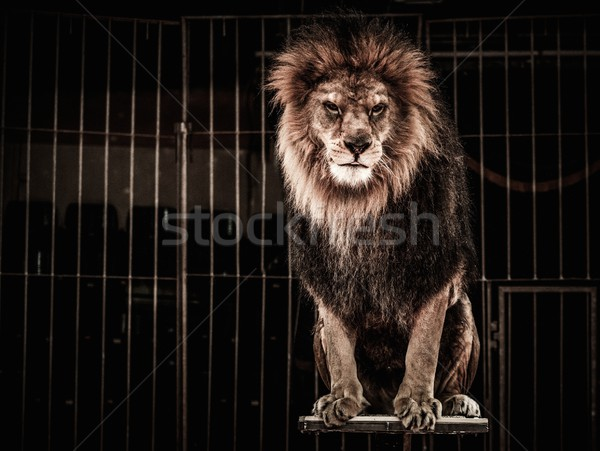 Stock photo: Lion in a circus cage