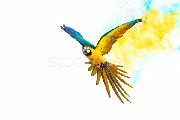 Colourful flying parrot isolated on white  Stock photo © Nejron