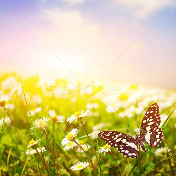 Stock fotó: Pillangó · százszorszép · mező · tavasz · fű · tájkép