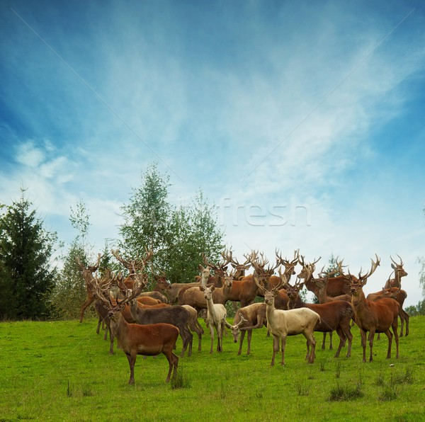Deer flock in natural habitat  Stock photo © Nejron