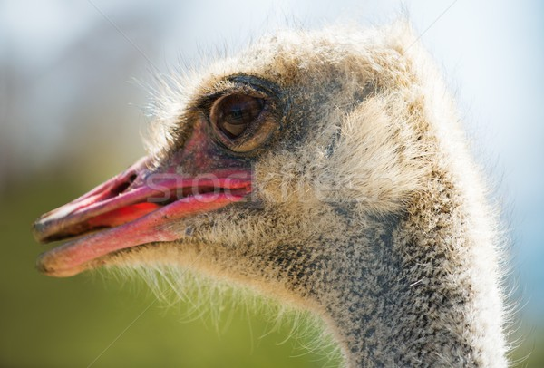 Close-up shot of ostrich head Stock photo © Nejron