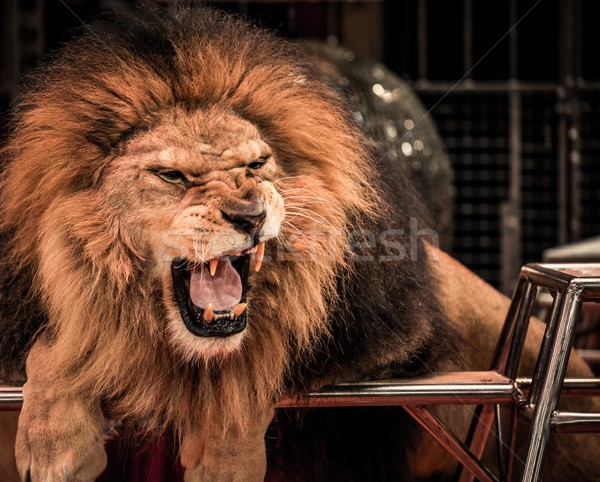Close-up shot of  gorgeous roaring lion in circus arena Stock photo © Nejron