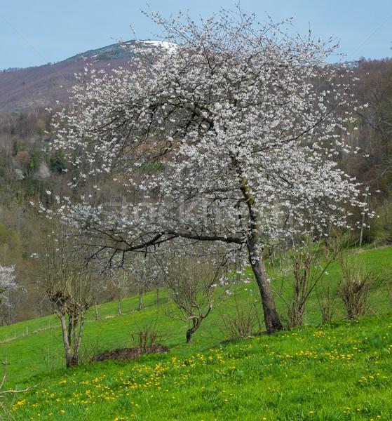 Boom mooie witte bloemen berg bloem tuin Stockfoto © Nejron