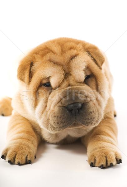 Komik sharpei köpek yavrusu yalıtılmış beyaz yüz Stok fotoğraf © Nejron