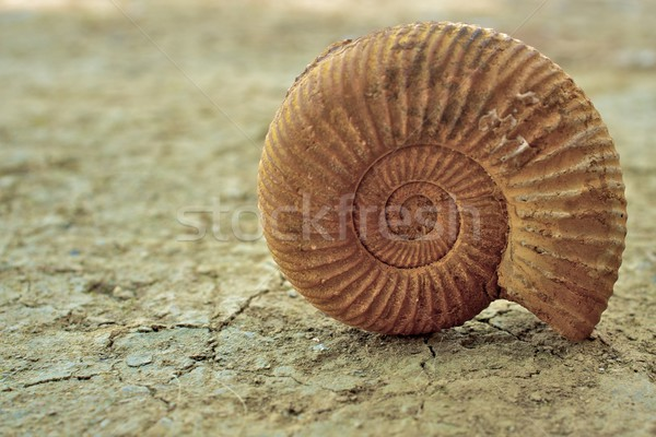 Antique snail shell  Stock photo © Nejron