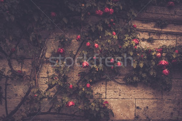 Tree with flowers growing against stone wall Stock photo © Nejron