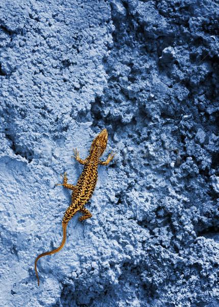 Pequeño amarillo lagarto azul rock pared Foto stock © Nejron
