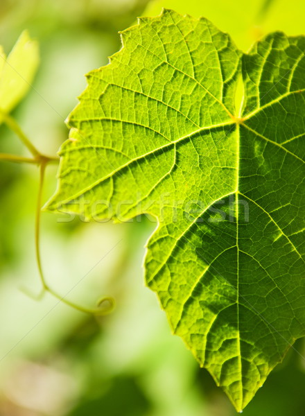 Wild druif blad abstract natuur tuin Stockfoto © Nejron