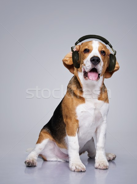 ビーグル 犬 着用 ヘッドホン 背景 白 ストックフォト © Nejron