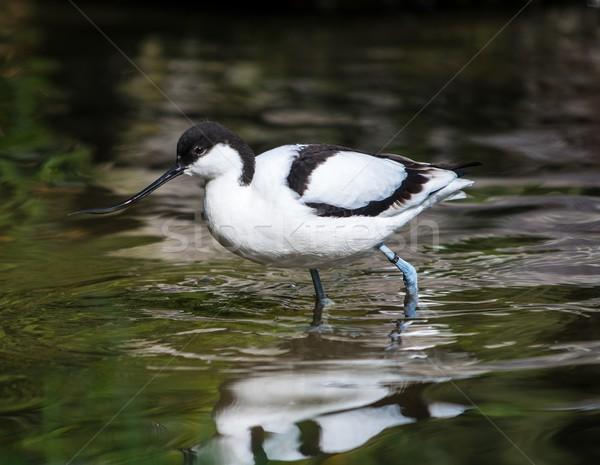 Divertente uccello lungo becco piedi acqua Foto d'archivio © Nejron