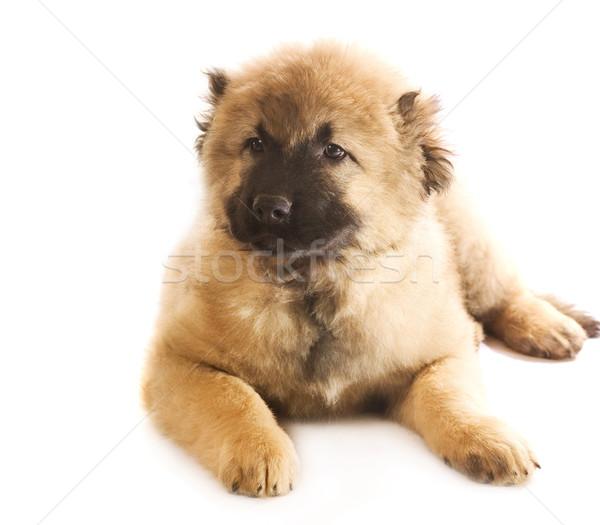 Caucasian shepherd puppy isolated on white background Stock photo © Nejron
