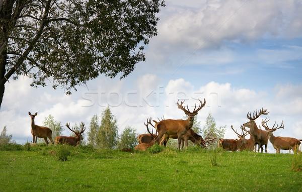 оленей природного среда обитания лес зеленый Сток-фото © Nejron