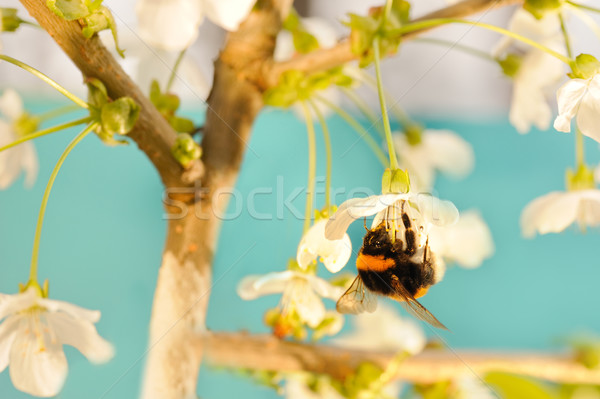 Bumble bee on a flower Stock photo © Nejron