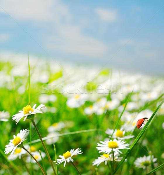 Daisy veld voorjaar zomer groene Rood Stockfoto © Nejron